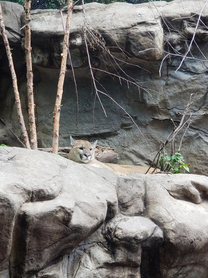 Puma at the zoo royalty free stock photos