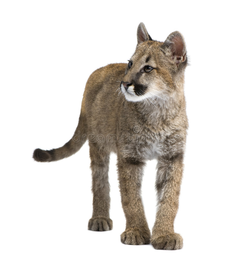 Pumajunges - Puma concolor (3.5 Monate) lizenzfreie stockbilder