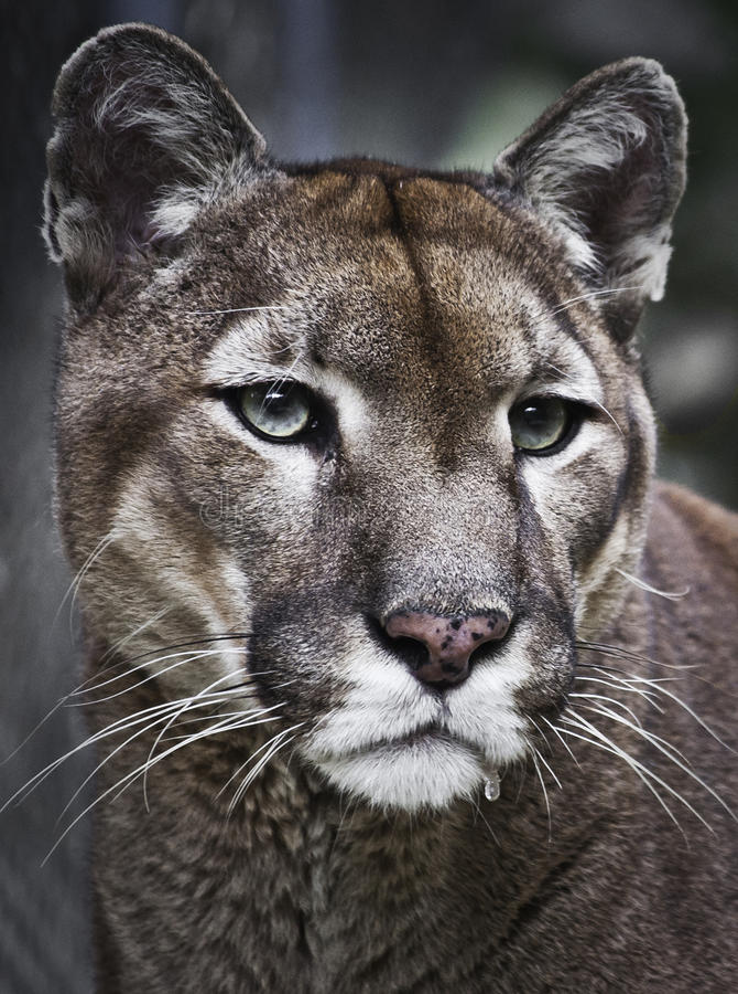 Pumakuguar fotografering för bildbyråer