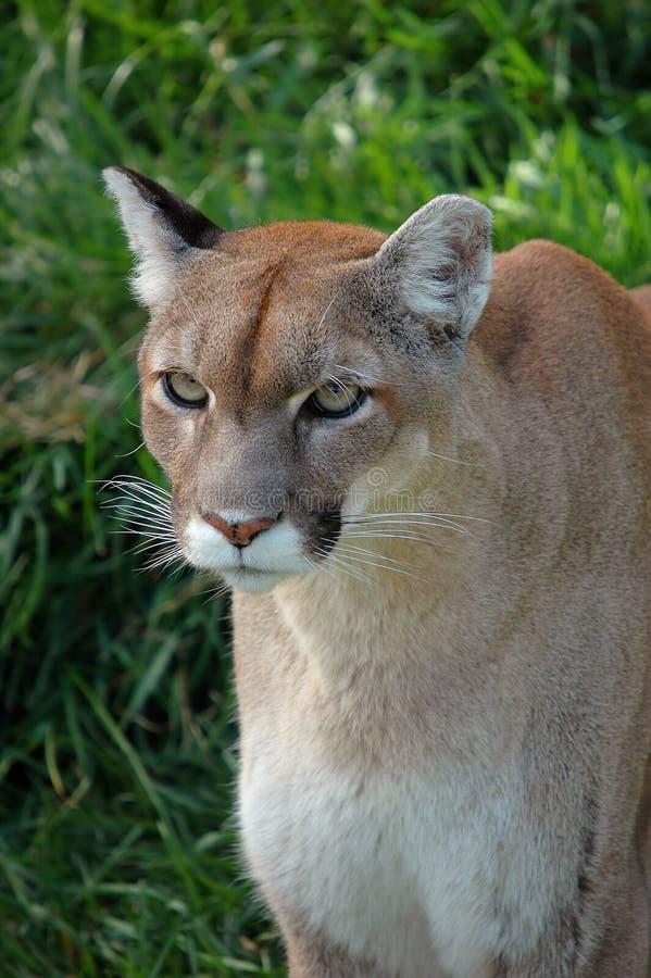 Pumanahaufnahme stockbild