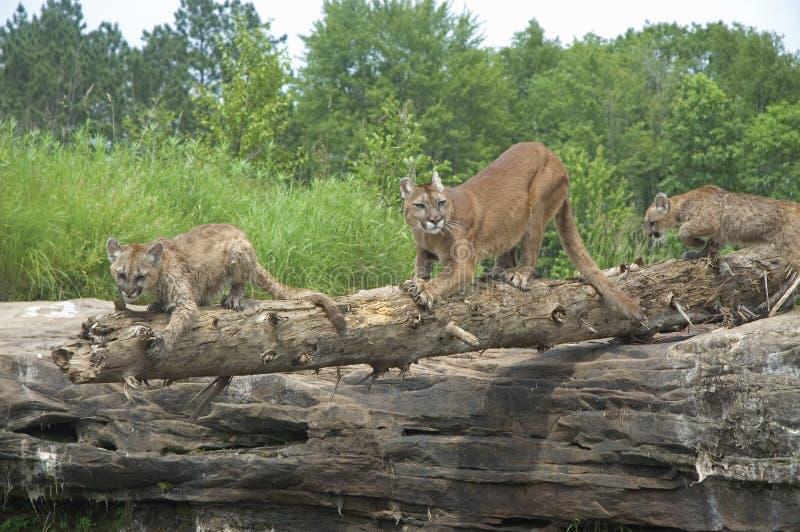 Pumas images libres de droits