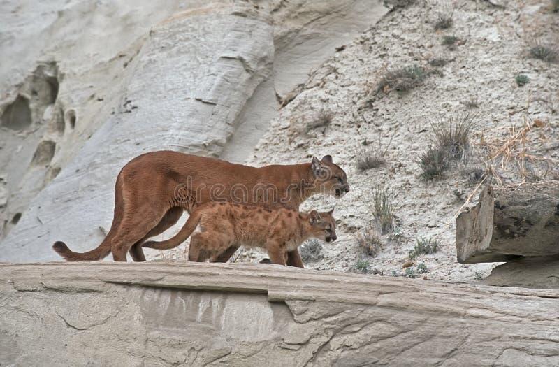 Pumas imagem de stock royalty free