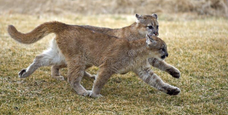 Pumas (concolor do felis) no Tandem imagem de stock