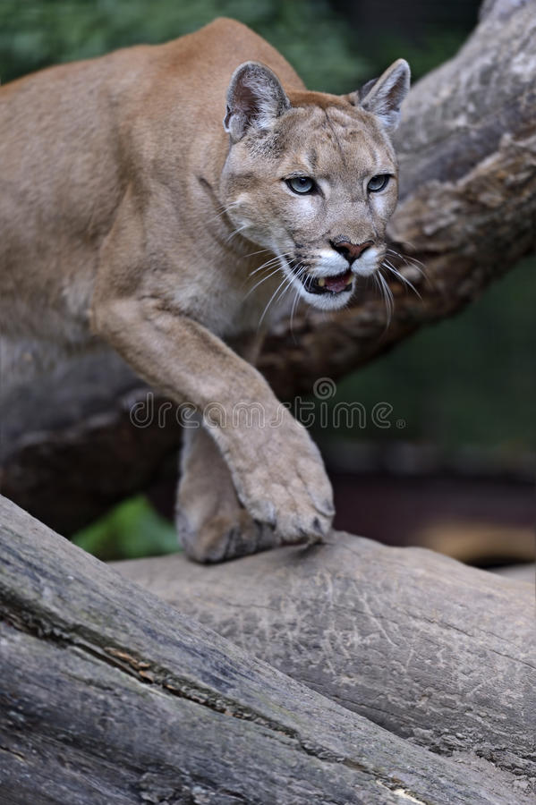 Pumas de portrait photos stock