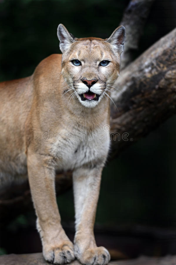Pumas de portrait images stock