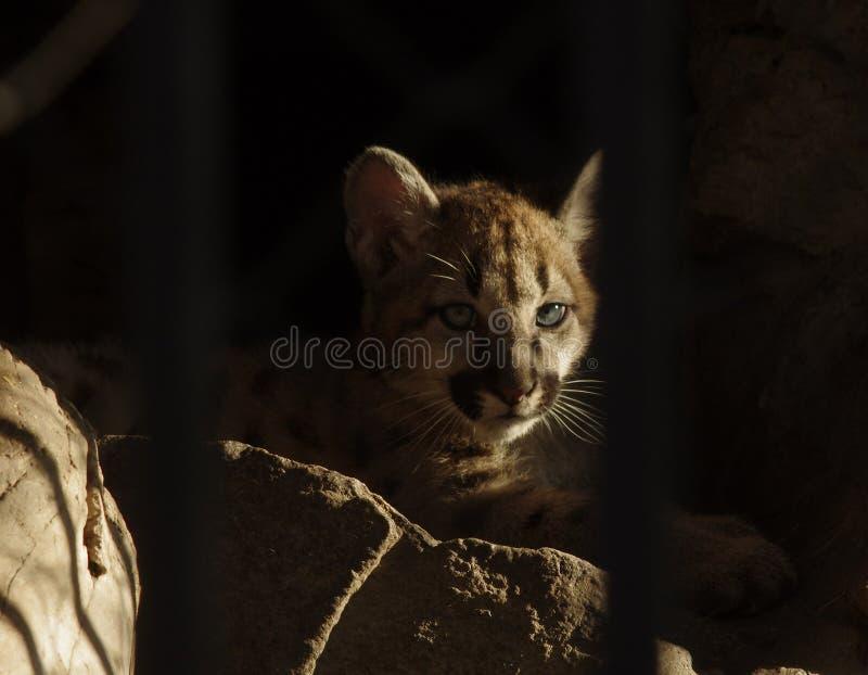 Pumas del bebé detrás de barras en el parque zoológico fotografía de archivo