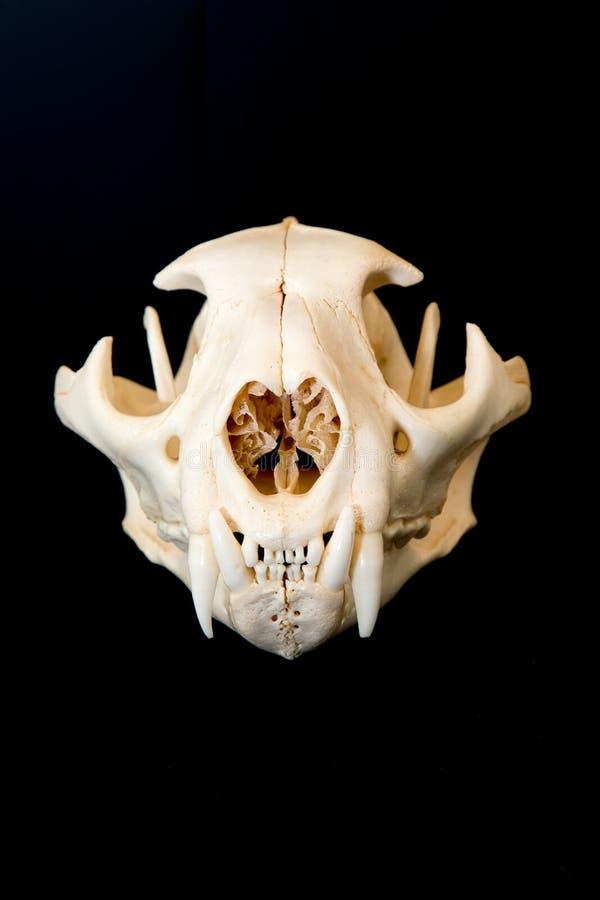 Pumaskalle med svart bakgrund royaltyfria bilder