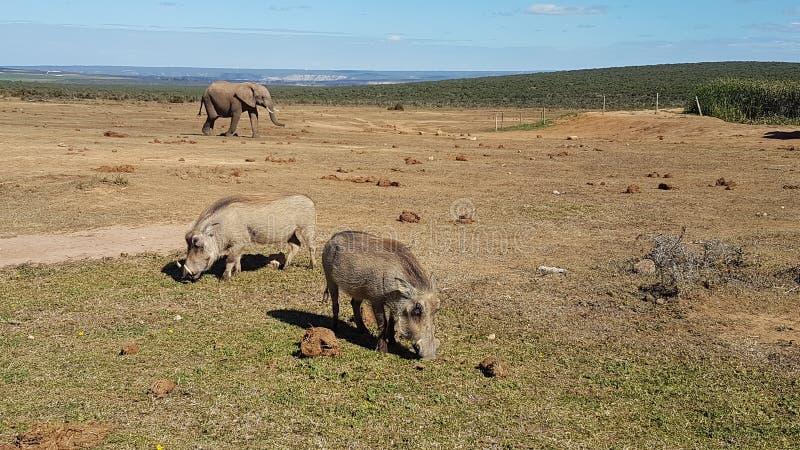 warthogs and elephant royalty free stock photo