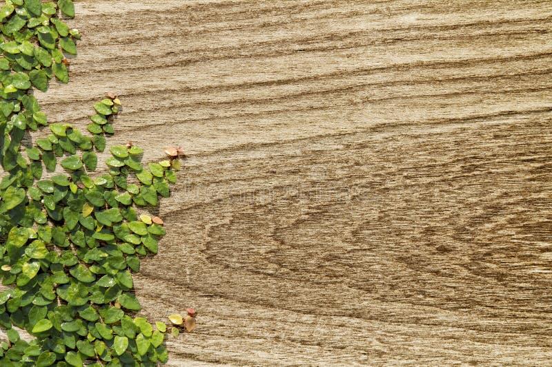 Download Pumila De Escalada Do Ficus Na Madeira Imagem de Stock - Imagem de escalar, casa: 29827053