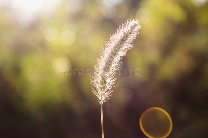 Pumila della setaria, coda di volpe gialla, setola-erba gialla, erba del piccione o erba del cattail fotografie stock