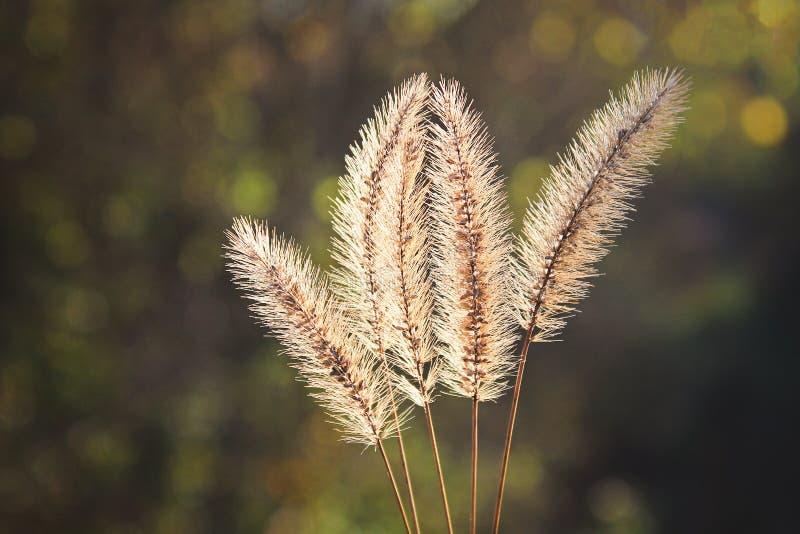 Pumila Setaria, желтый лисохвост, желтая щетинк-трава, трава голубя или трава cattail стоковая фотография