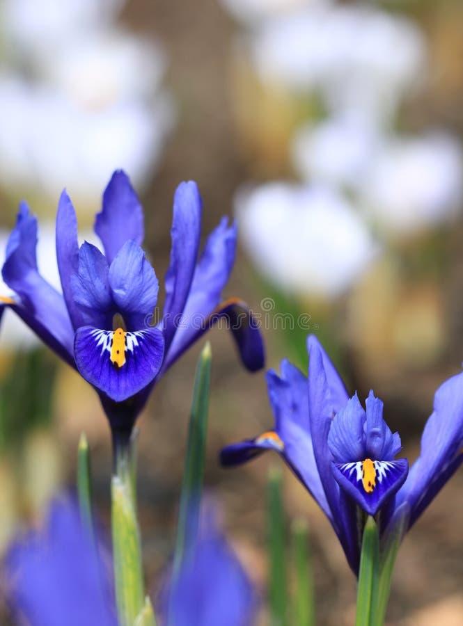 Pumila van de iris stock afbeelding