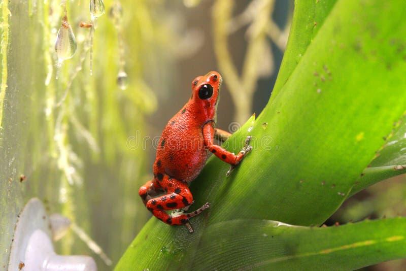 Pumilio毒物攀登brom的箭青蛙 免版税库存照片