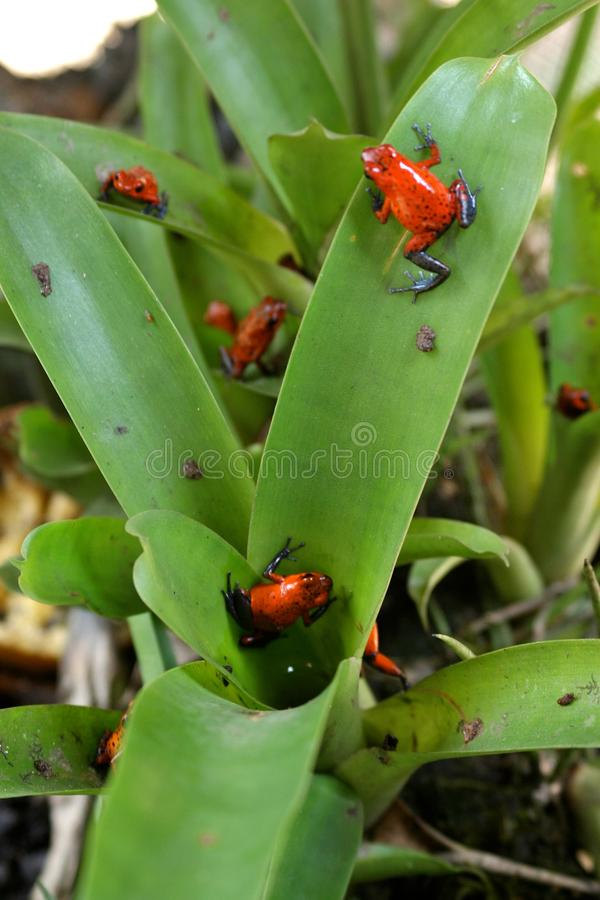 Pumilio Dendrobates - κόκκινος βάτραχος βελών στοκ φωτογραφία με δικαίωμα ελεύθερης χρήσης