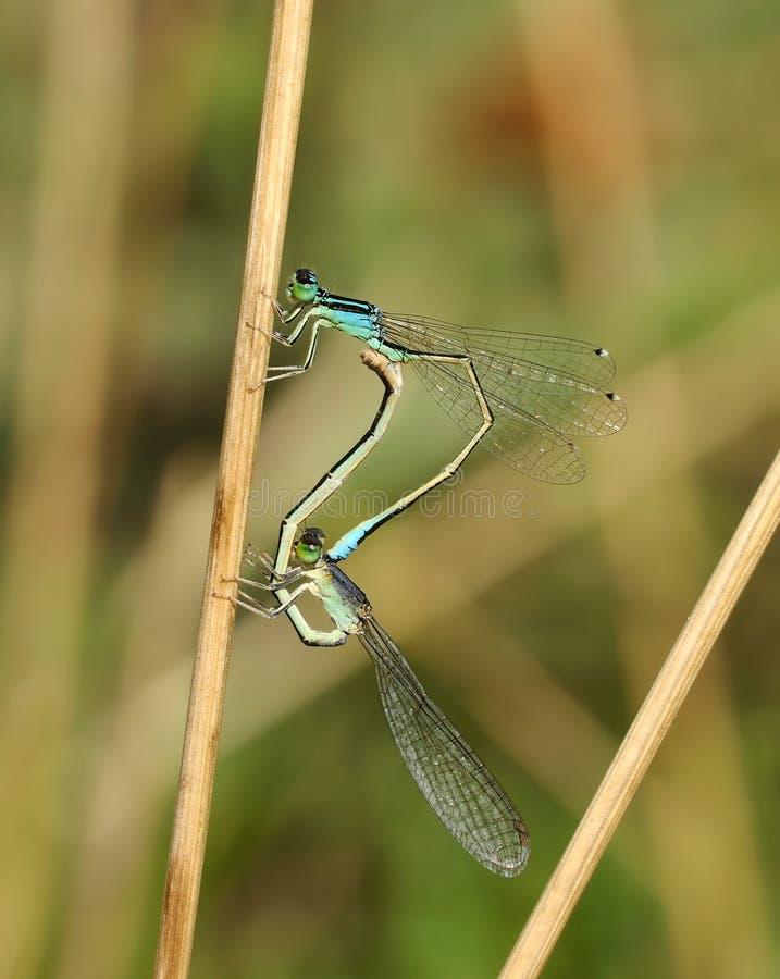 Pumilio Ischnura Dragonflies (красотки) (пары) стоковое фото
