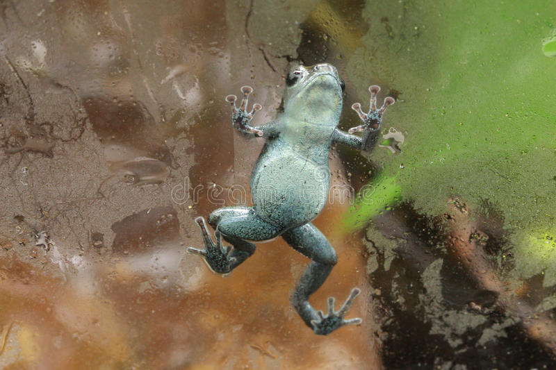 Pumilio Poison Dart frog climbing on glass royalty free stock image