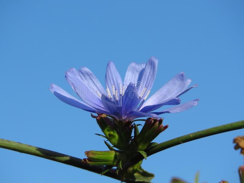 Pumilum do Cichorium Flores azuis pequenas do prado contra o céu azul Apropriado para o fundo floral foto de stock