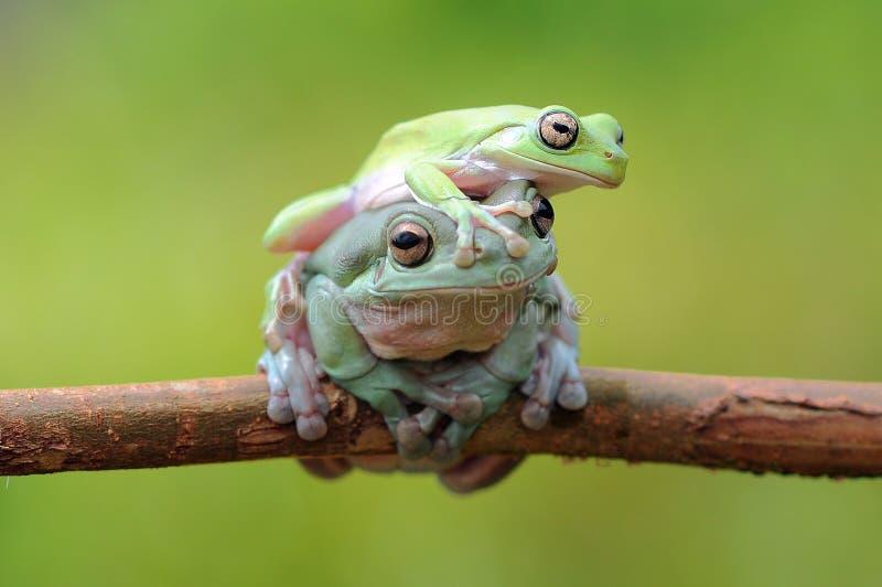 Pummelig Baum-Frosch stockbilder