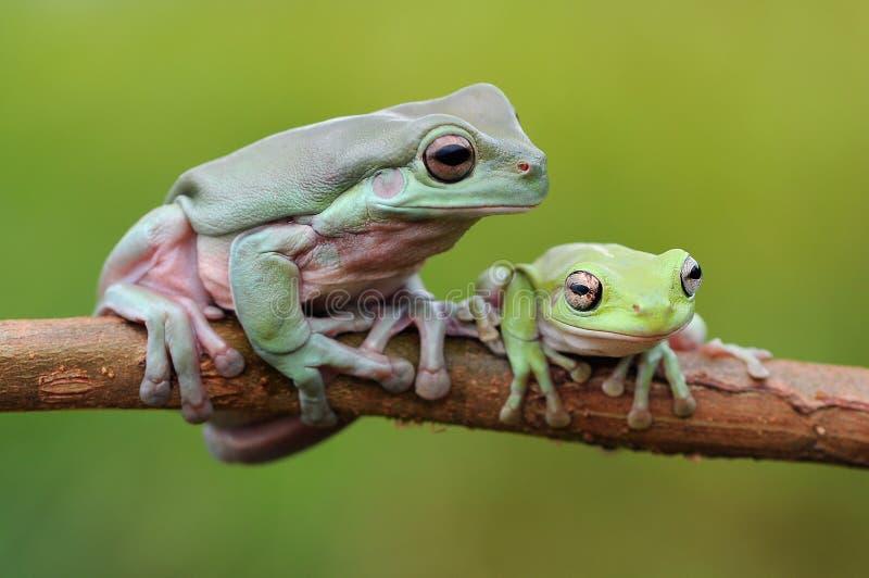 Pummelig Baum-Frosch stockfotos