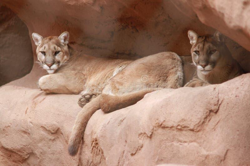 Pumor i den Phoenix zoo royaltyfri foto
