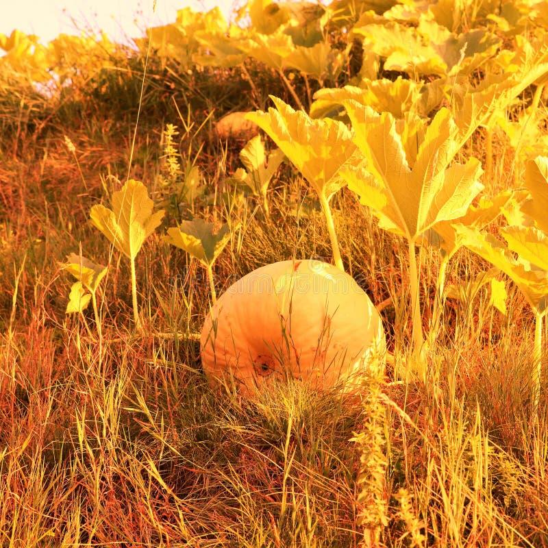 Pumpa i trädgården i orange signaler arkivbilder