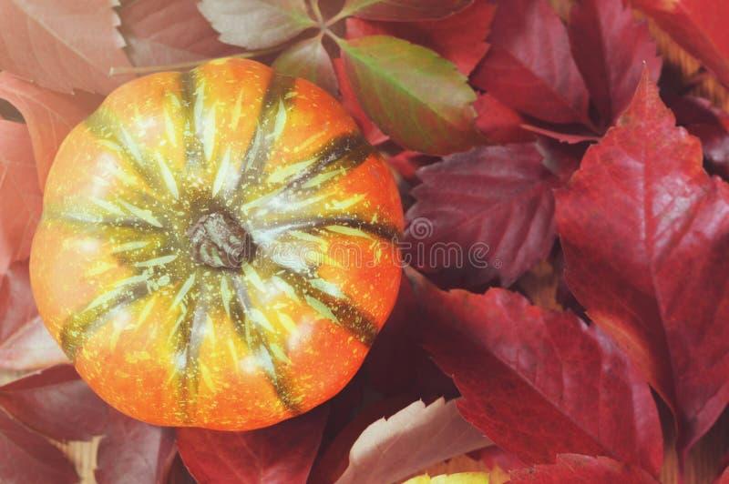 Pumpa på röda höstsidor höstbakgrundscloseupen colors orange red för murgrönaleaf royaltyfri fotografi