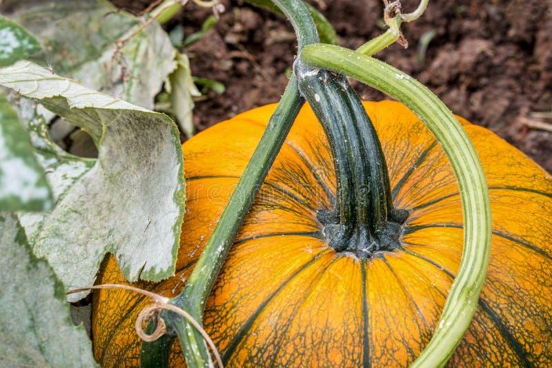 Pumpa som växer a i trädgård fotografering för bildbyråer