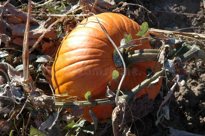 Download Pumpavine arkivfoto. Bild av pumpa, växa, jordning, vine - 45862