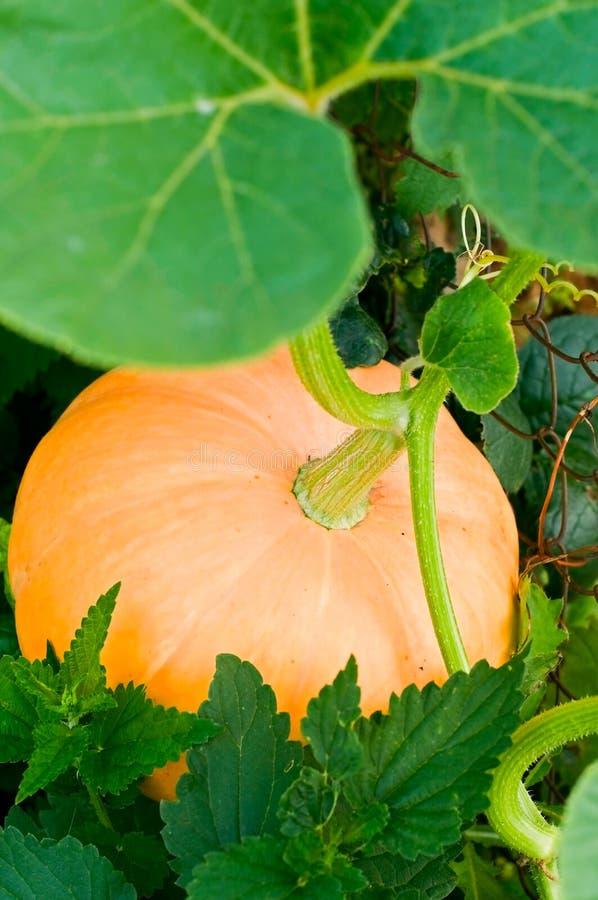 Pumpkin. The image of pumpkin in vegetable garden stock photography