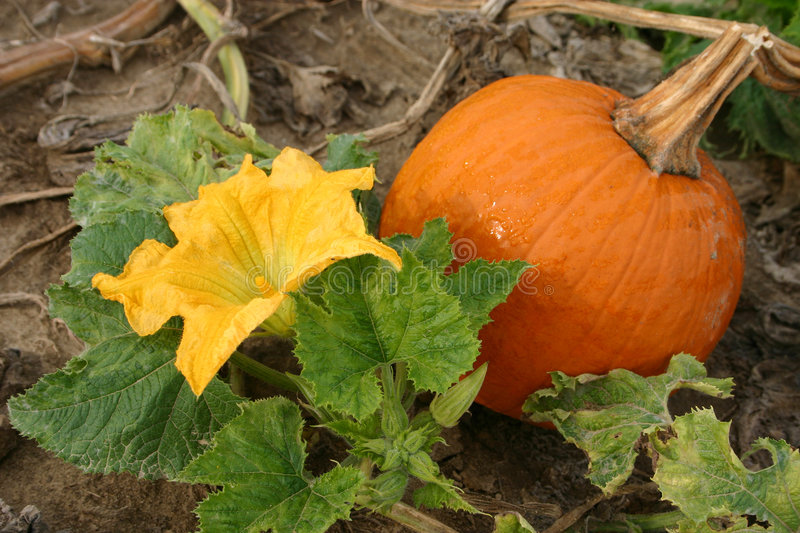 Pumpkin and Blossom royalty free stock image