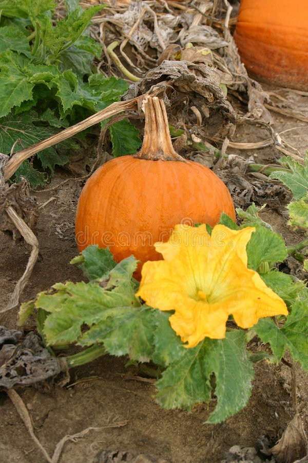 Pumpkin and Blossom royalty free stock images