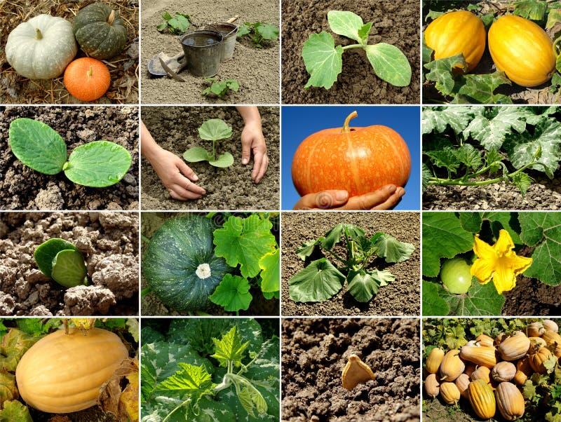 Pumpkin collage stock photo