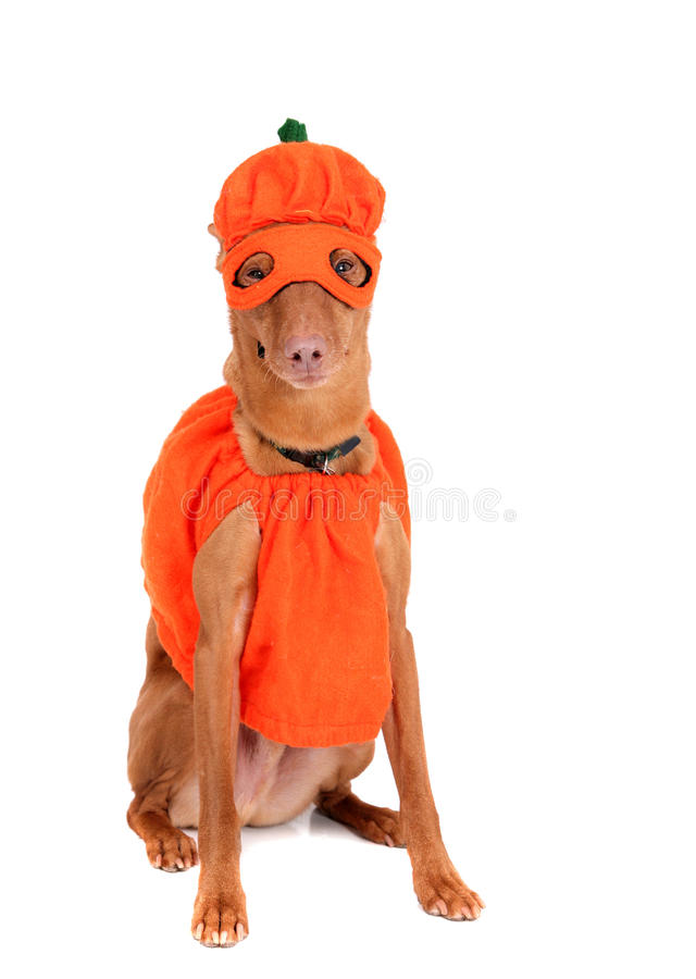 Pumpkin dog stock image