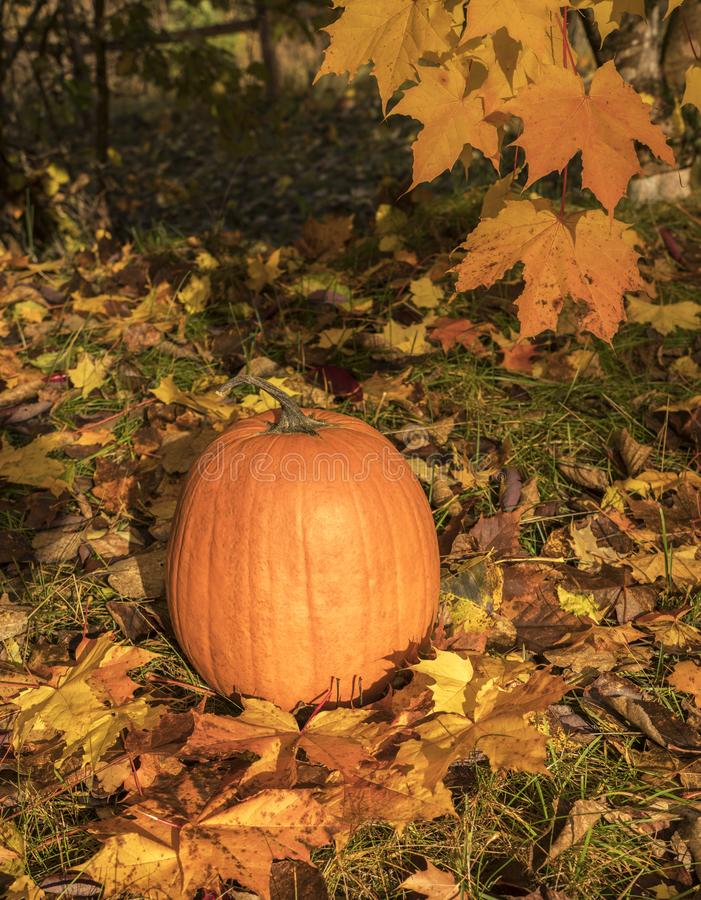 Pumpkin in fall royalty free stock images