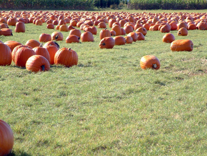 Pumpkin field royalty free stock photos