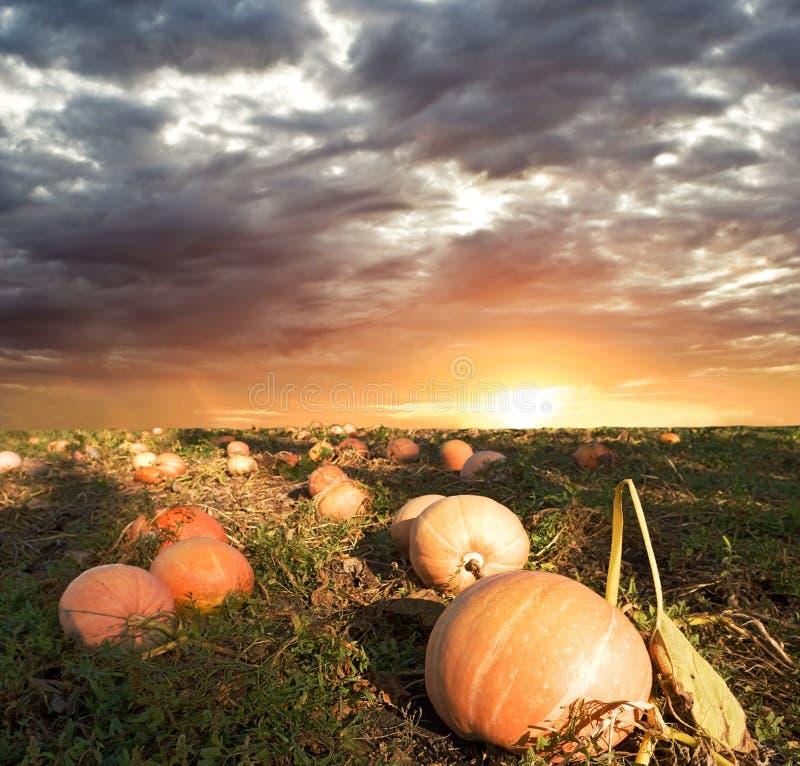 Free Pumpkin Field Royalty Free Stock Photo - 11339905