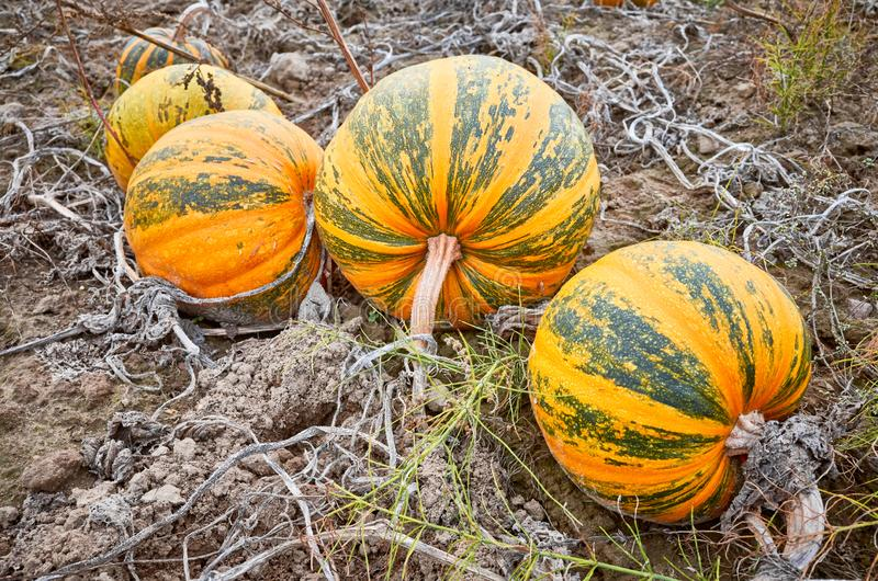 Pumpkin field in autumn. stock images