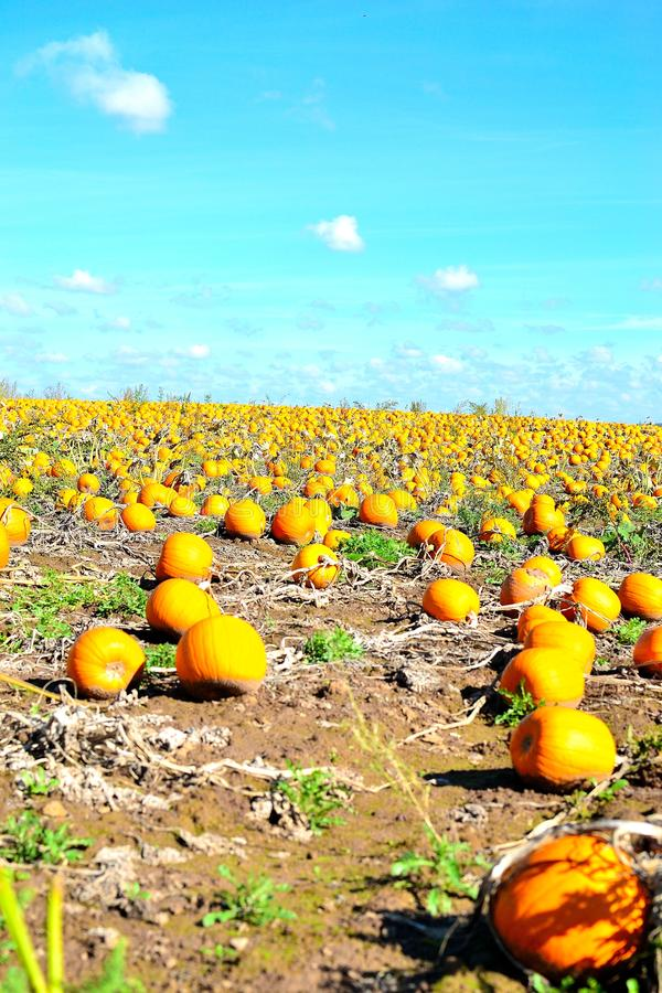 Pumpkin field and blue skies. In Worcestershire in UK royalty free stock images