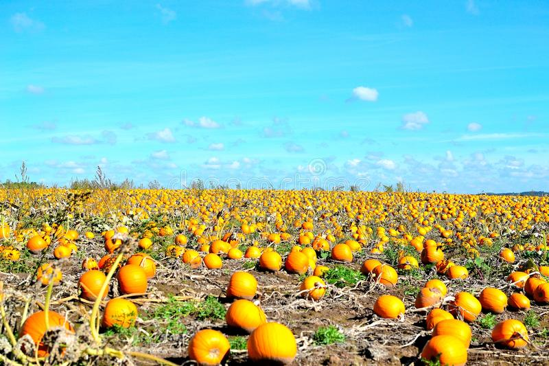 Pumpkin field and blue skies. In Worcestershire in UK royalty free stock image