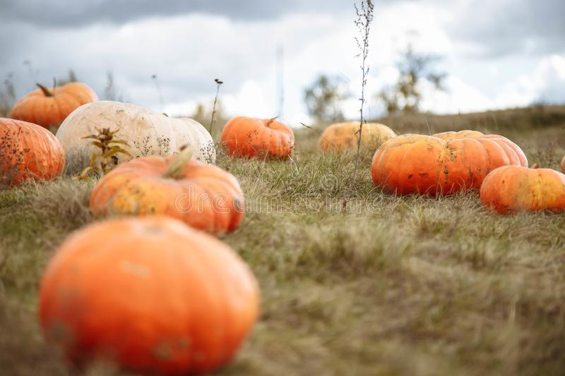 Pumpkin field in a country farm. Autumn landscape. stock image