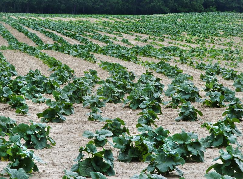 Pumpkin field in Finger Lakes of NYS during early summer. Pumpkin seeds do not germinate in cold soil, so they need to be planted after the chance of frost has royalty free stock photos