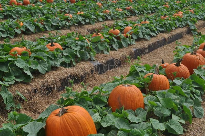 Pumpkin field with lush green leaves royalty free stock photography