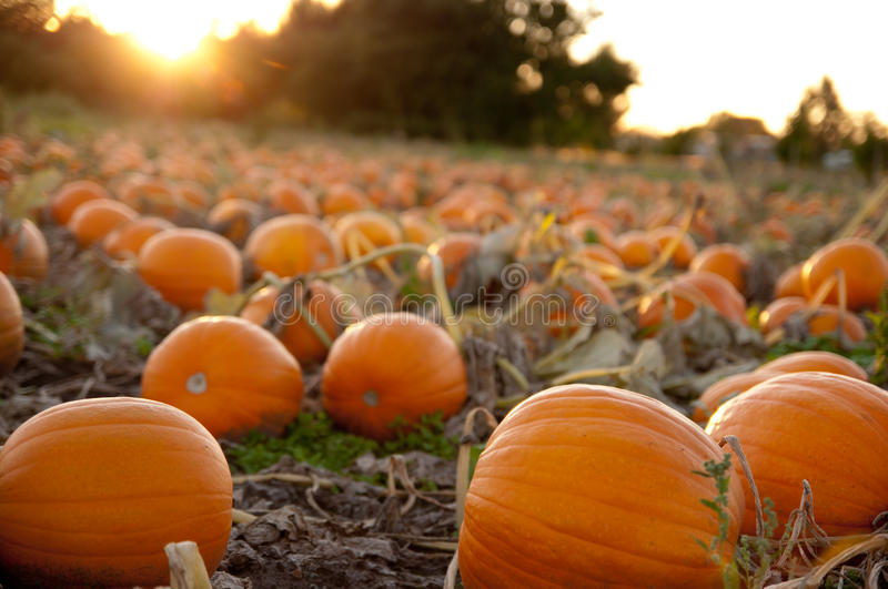 Pumpkin field at sunset royalty free stock images