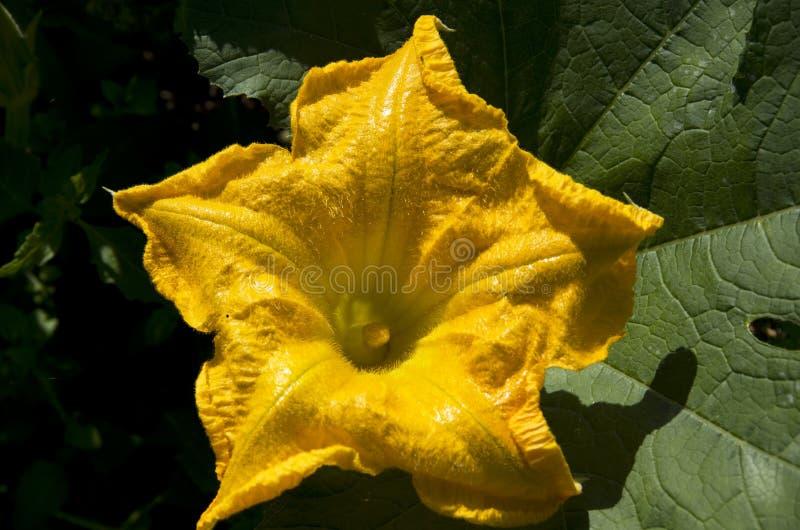 Pumpkin flower stock photography
