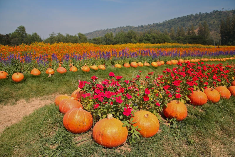 Pumpkin and flower garden at Jim Thomson farm. In Korat, Thailand royalty free stock photography