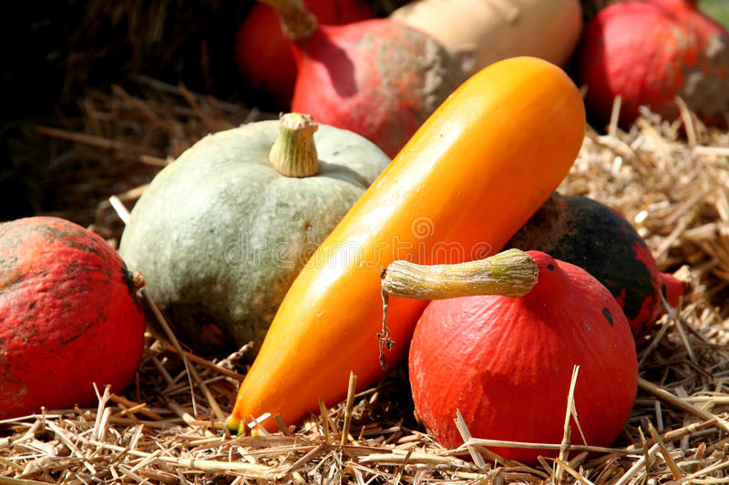Pumpkin for food. In different colors on the hay in autumn time stock images