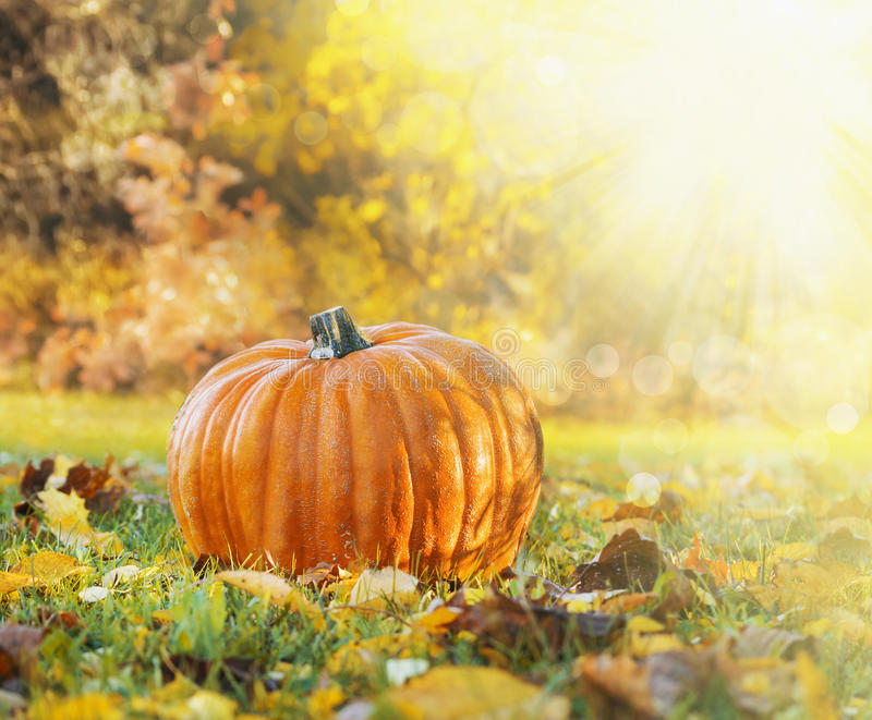 Pumpkin in grass with autumn foliage on backgroun of fall garden. Outdoor stock images