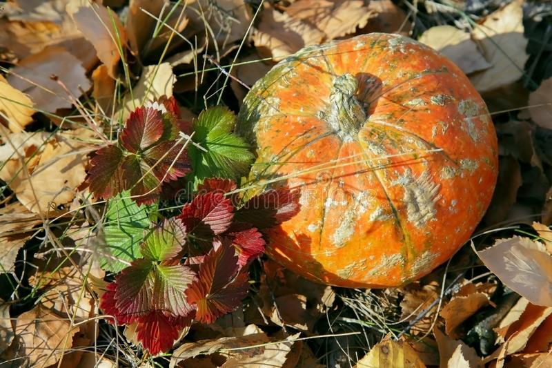 Pumpkin in the grass on autumn foliage in the Thanksgiving harvest season on a bright sunny autumnal natural background. Orange royalty free stock photo