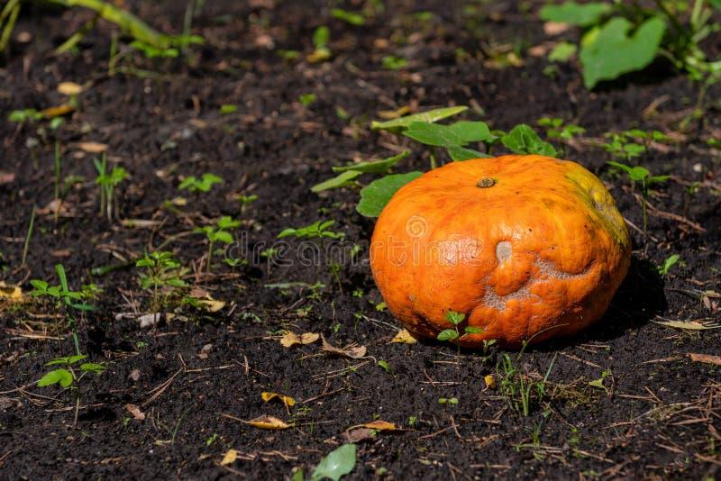 Pumpkin growing in the vegetable garden. Growing pumpkins. Pumpkin plant. - Image. Pumpkin growing in the vegetable garden. Growing pumpkins. Pumpkin plant royalty free stock photo