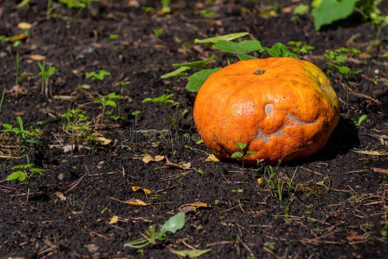 Pumpkin growing in the vegetable garden. Growing pumpkins. Pumpkin plant. Image royalty free stock photo
